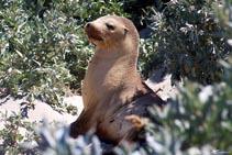 Australia - Kangaroo Island - Seal Bay - Foche