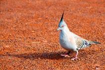 Australia - Ayers Rock - Uluru - piccione