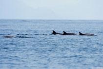 Delfini - Sipadan