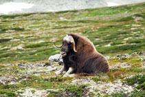 Bue Muschiato - Dovrefjell - Norvegia